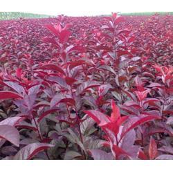 瀚花苑种植优质红叶李(图)、8公分红叶李、8公分红叶李图片