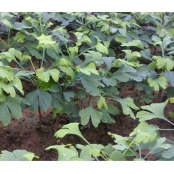 周口哪里有卖银杏苗的?(图),周口银杏苗树,周口银杏苗图片