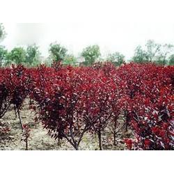 中华红树苗选瀚花苑,中华红树苗常年供应,中华红树苗图片