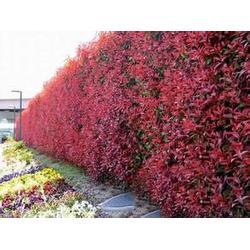 瀚花苑种植(图),驻马店中华红种植,驻马店中华红图片
