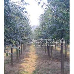 2公分各种大叶树苗商图片